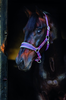 Rambo Padded Headcollar Charcoal with Blue & Raspberry